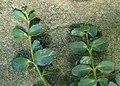 Kalanchoe uniflora kz02.jpg