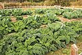 Kale and Cabbage in Raised Garden Beds (49200262267).jpg
