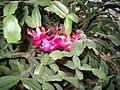 Karácsonyi kaktusz 1.jpg