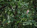 Kattasokam (Malayalam- കാട്ടശോകം) (15662372344).jpg