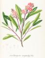Kielmeyera angustifolia Pohl129.png