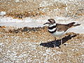 Killdeer in Yellowstone.JPG