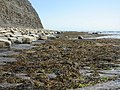 Kimmeridge Ledges, seaweed - geograph.org.uk - 1411715.jpg
