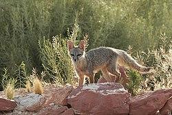 Un renard nain, dans l'Utah