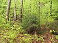 Kleť (přírodní rezervace), porost II.jpg