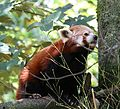 Kleiner Panda Tierpark Hellabrunn-3.jpg