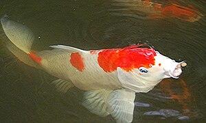Kōhaku (fish) - Image: Kohaku