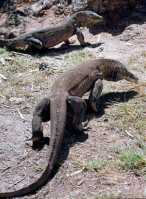 Varanidae - Komodo dragon (Varanus komodoensis)