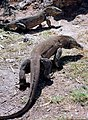 Komodo Dragons in the wild on Rinca island Indonesia..jpg