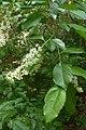 Korina 2011-05-14 Prunus serotina 5.jpg