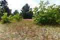 Korina 2013-07-19 Prunus serotina.jpg