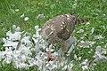 Krogulec jedzący gołębia 6.jpg