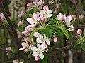 Kwiat jabłoni champion.jpg
