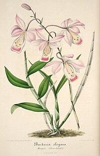 Typart B. uniflora