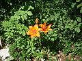 Lägern Feuerlilie 0015.JPG