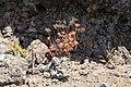 La Palma - El Paso-Fuencaliente - LP-2 - Lava of El Charco + Aeonium 02 ies.jpg