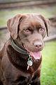 Labradorský retrívr hnědý.jpg