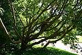 Laburnum alpinum JPG1H.jpg