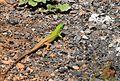 Lacerta viridis - Green Lizard.jpg
