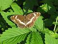 Ladoga camilla japonica.jpg