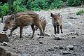 Lainzer Tiergarten Frischlinge 02.jpg