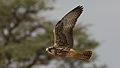 Lanner falcon, Falco biarmicus, at Kgalagadi Transfrontier Park, Northern Cape, South Africa (34415577342).jpg