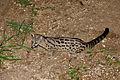 Large-spotted Genet (Genetta tigrina) (17168772598).jpg