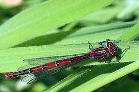 Large Red damselfly (Pyrrhosoma nymphula) female.jpg
