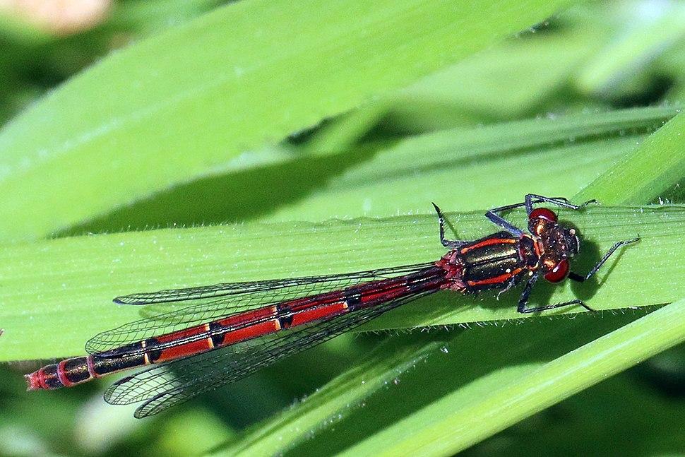Large Red damselfly (Pyrrhosoma nymphula) female