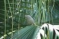 Large grey babbler (18379811475).jpg