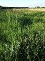 Lathyrus hirsutus sl81.jpg