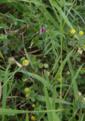 Lauterbach Maar Bilskuppe 555520689 Medicago lupulina Vicia sativa ssp nigra.png