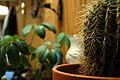Lava cactus (right).jpg