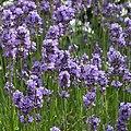 Lavender (35544799685).jpg