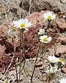 Layia glandulosa flowers seedhead.jpg