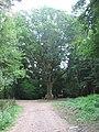 Le Gros chêne forèt de Masevaux - panoramio.jpg
