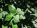 Leaves of Ulmus x hollandica 'Belgica'.jpg