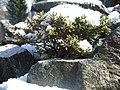 Lebenswertes chemnitz winter japanische azalee im schnee.jpg