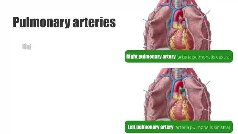 file left and right pulmonary arteries anatomy function human