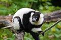 Lemur (26244813599).jpg