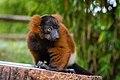 Lemur (36477048241).jpg