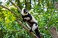 Lemur (36710261951).jpg
