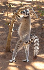 A Ring-tailed Lemur stands upright, holding the young tree and sniffing it, in preparation for scent-marking