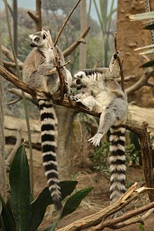 Lemur catta at the Bronx Zoo 011.jpg