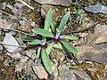 Leontopodium alpinum 2017-05-06 9739.jpg