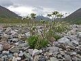 Leontopodium ochroleucum (Asteraceae) (27292071754).jpg