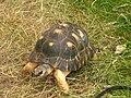Leopard Tortoise 01.jpg