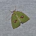 Lepidoptera (36910440046).jpg