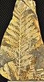 Lepidopteris stormbergensis.jpg