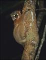 Lepilemur randrianasoli a.PNG